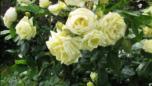 roza-pochvopokrovnaya