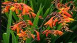 yaponskij gladiolus